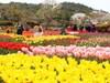 Nhổ 1 triệu bông hoa tulip để ngăn khách đến tham quan