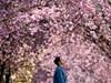 Vẫn nở rộ nhưng mùa hoa anh đào năm nay thiếu vắng người xem