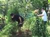 Lai lịch người đàn ông Pháp trồng cả vườn cần sa ở bãi giữa sông Hồng