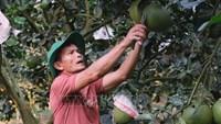 Thu nhập tiền tỷ mỗi năm từ trồng bưởi da xanh