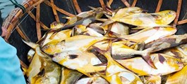 Trúng đậm mẻ cá chim vàng, ngư dân thu hơn nửa tỷ đồng