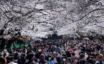 24h qua ảnh: Đông nghịt khách ngắm hoa anh đào ở Nhật Bản