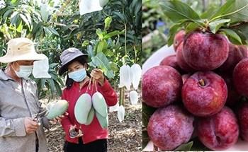 Nông dân Sơn La sẽ livestream bán nông sản