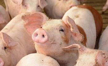 Giá lợn hơi Hà Nội sẽ trở lại mức 50-60.000 đồng/kg?