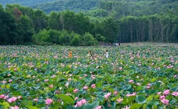 Hương sắc làng sen Quảng Nam