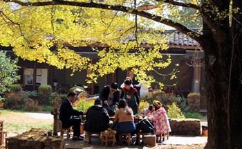 Làng ngân hạnh rực vàng mùa thu