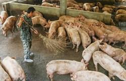 Sản lượng lợn hơi Trung Quốc đang trên đà phục hồi