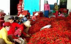 Trung Quốc không cấm nhập khẩu ớt của Việt Nam