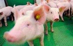 Sắp có trang trại 1.500 tỷ đồng cung cấp lợn giống